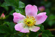Flower wild rose after rain.