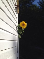 sunflower peeking around the corner