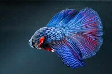 siames fight fish