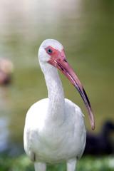 White Ibis bird