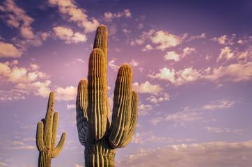 Desert landscape saguaro cactus Arizona USA