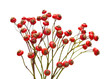 canvas print picture - bunch of rose hips isolated