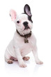 canvas print picture - adorable french bulldog puppy sitting