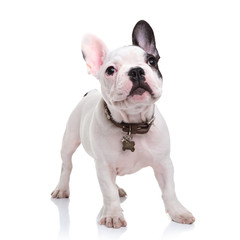 cute little french bulldog puppy standing  on white background