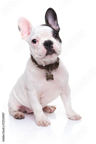 canvas print picture adorable french bulldog puppy sitting