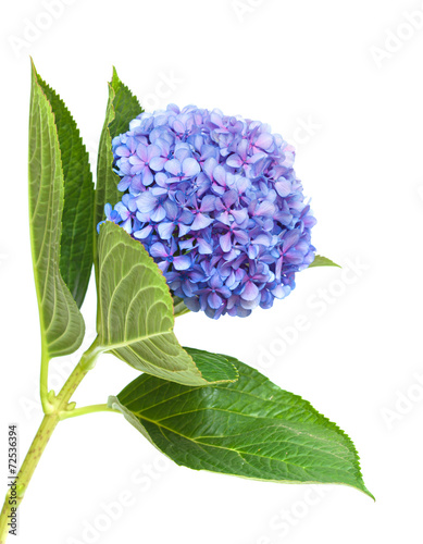 Poster Hydrangea lilac-blue hydrangea isolated on white