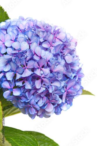 Foto op Plexiglas Hydrangea lilac-blue hydrangea isolated on white
