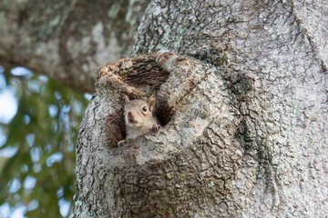 Eastern Gray Squirrel Peeking from Oak Tree Hollow III