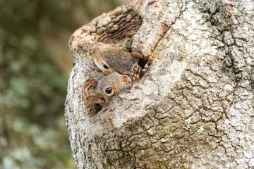 Two squirrels in an Oak Tree