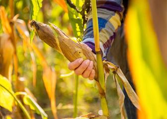 Closeup on young woman tearing corn