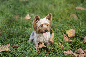 Yorkshire Terrier Dog Playing in the Yard