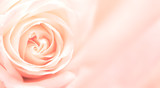 Fototapety Banner with pink rose