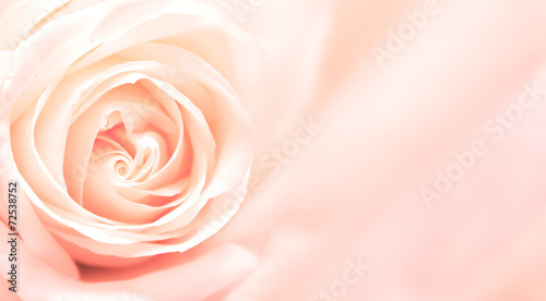 Fotobehang Rozen Banner with pink rose