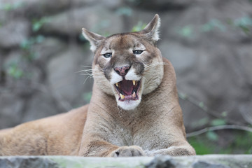 Puma With His Mouth Slightly Open