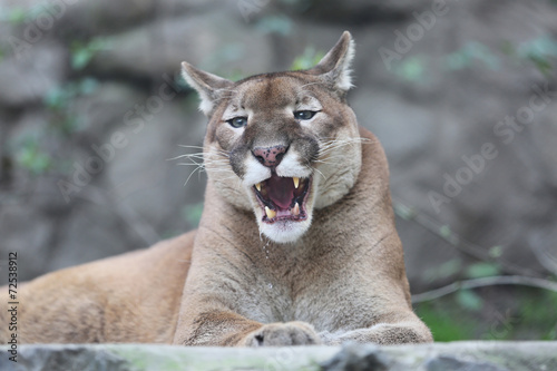 Aluminium Puma Puma With His Mouth Slightly Open