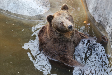 The Bear Sits in the Water and Resting