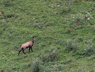 young mountain CHAMOIS while grazing the meadow grass