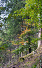 Hafod Forest