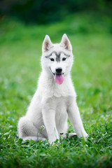 Puppy of Siberian husky sits on green grass