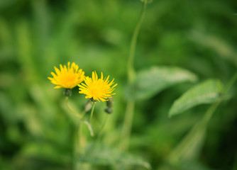 Yellow dandelion flower. Macro with shallow depth of field.