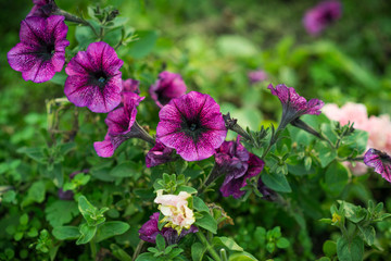 Purple flowers. In the garden on a sunny day. Selective focus.