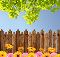 Blooming colorful gerberas in the background wooden fence
