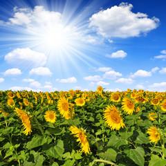 sunflower field with sunny sky