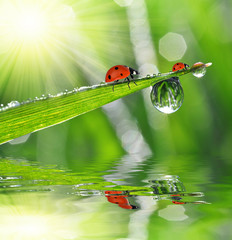 Fresh green grass with dew drops and ladybugs closeup.