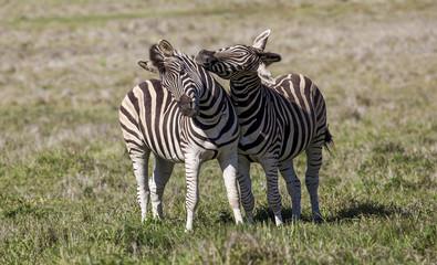 Two stallion zebras fighting.