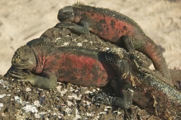 Marine Iguanas Sunbathing on Galapagos Islands