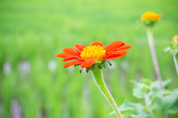 Red zinnia flower on the green rice filed background
