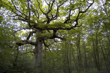 Quercia secolare, Chêne des hindrés, Brocéliande