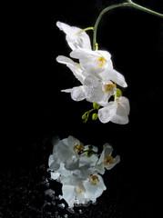 White beautiful orchi