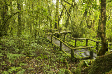 Deep Forest with Wooden Walk Path