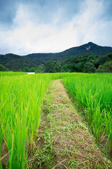Natural Thai rice field in Chiangmai, Thailand