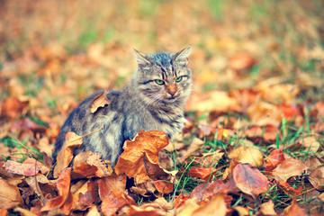 Siberian cat sitting on the fallen leaves