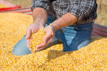 Farmer's hands showing freshly harvested corn grains