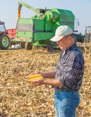 Farmer inspecting corn maize cobs during harvesting season