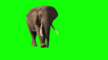 African Elephant, Close Up. Green screen.