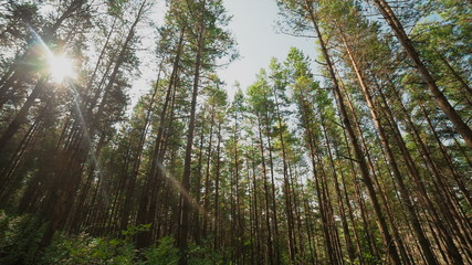 Sun beams pour through trees in a pine forest
