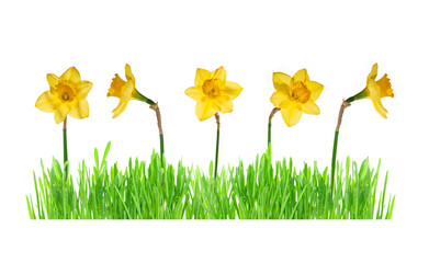 Green grass with daffodils isolated on white.