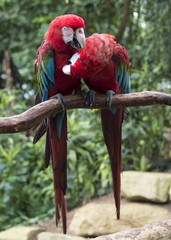 couple of red parrots in love