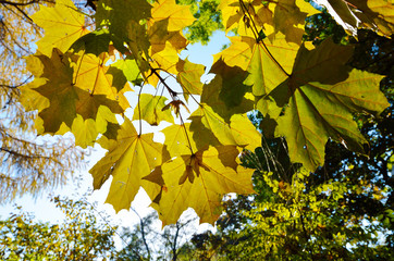 Maple leaves in the autumn park