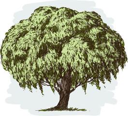 old lush tree
