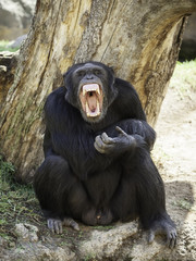 Chimpanzee with his mouth open
