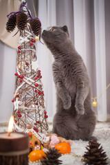 beautiful British cat at a New Year tree