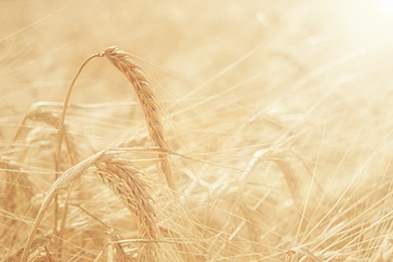 summer sunset texture barley grain