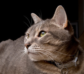 Pretty tabby cat looking intent