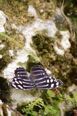 Banded purple wing butterfly - dorsal view