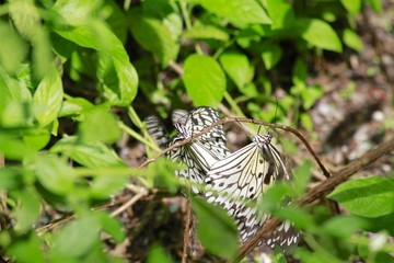 Paper Kite butterfly mating